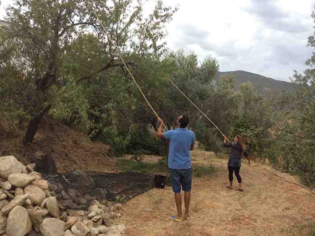 Collecting almonds at Almond Hill House, Andalucia, Spain