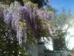 Wisteria in bloom at Almond Hill House, Andalucia, Spain