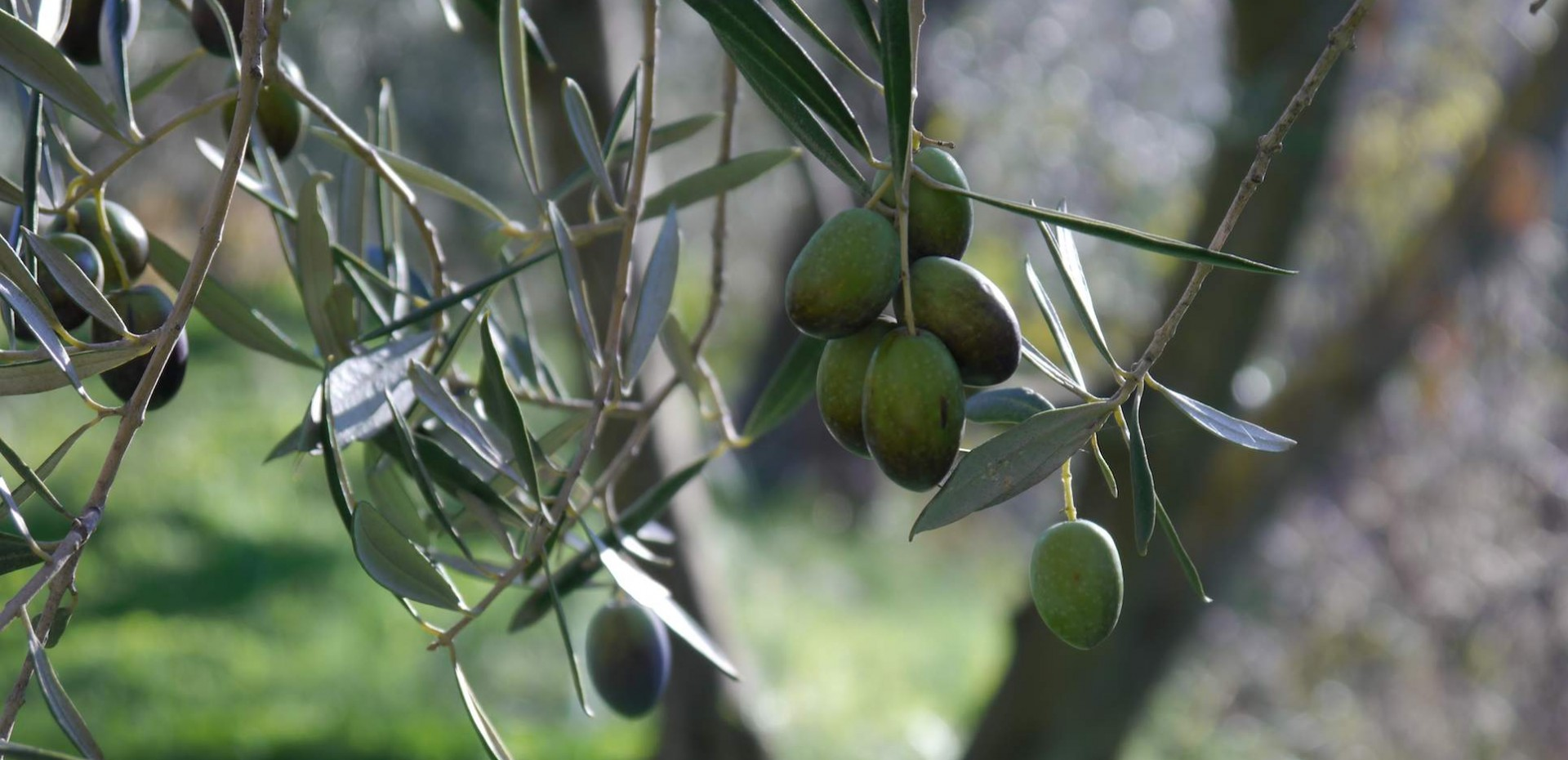 Olives at Almond Hill House, Andalucia, Spain