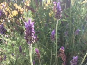 Lavender at Almond Hill House, Andalucia, Spain