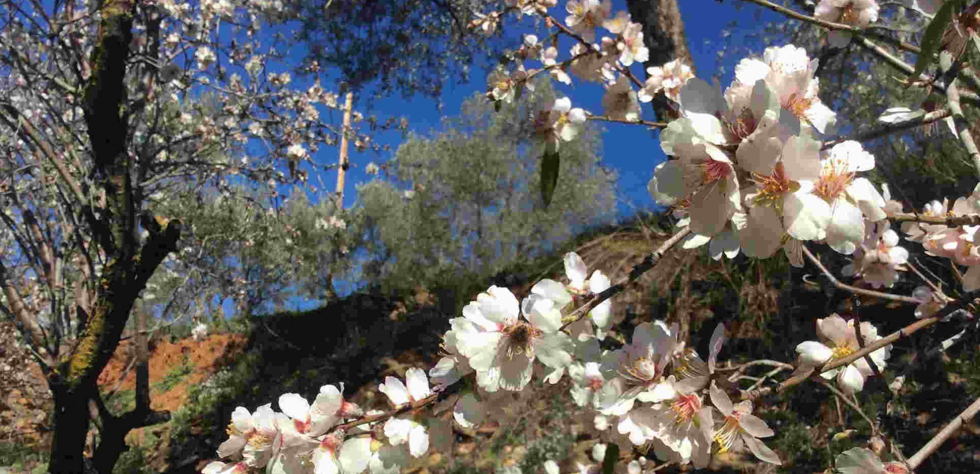 Blossom at Almond Hill House, Andalucia, Spain