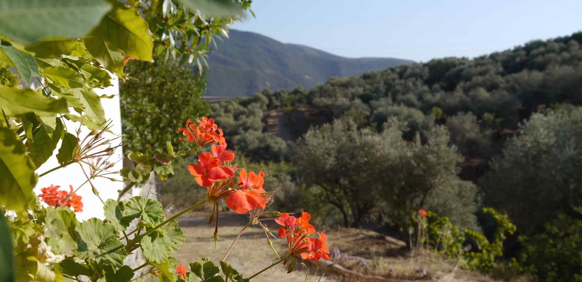 Olive groves at Almond Hill House, Andalucia, Spain