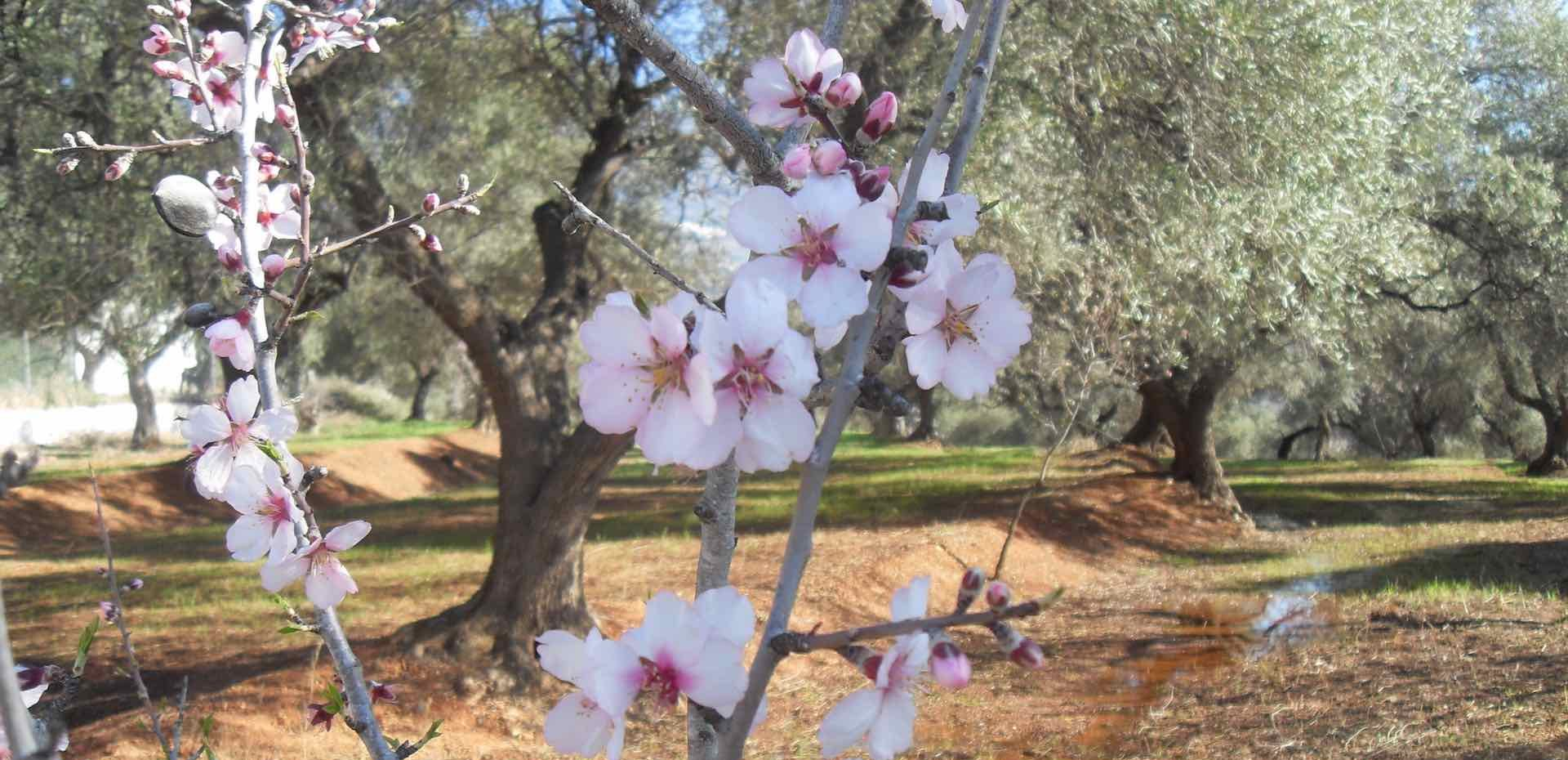 Almond blossom at Almond Hill House, Andalucia, Spain
